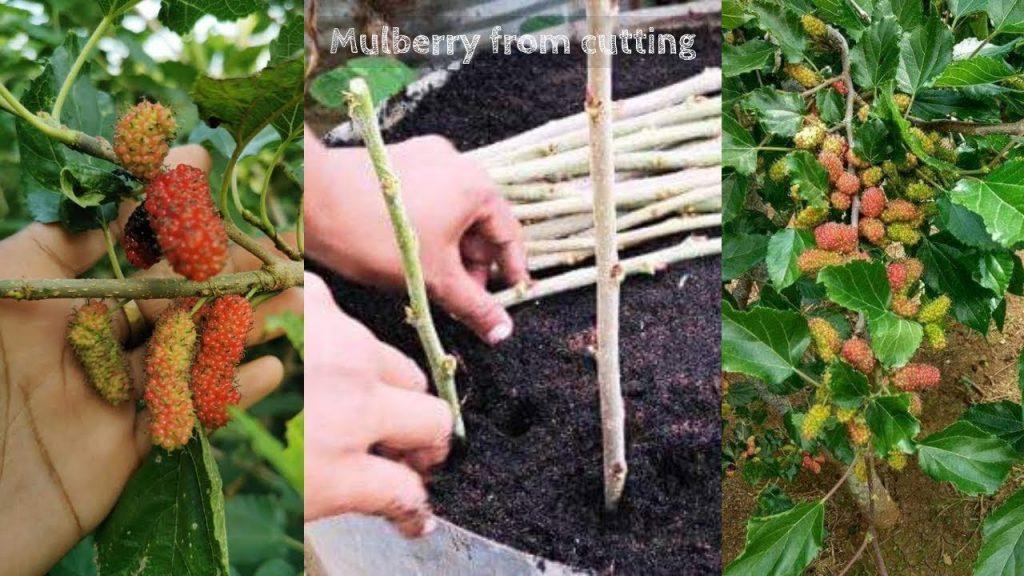 cara melebatkan buah mulberry