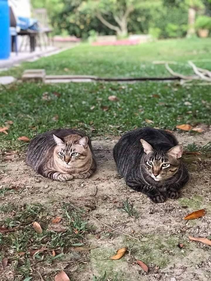 Resepi makanan kucing untuk gemuk