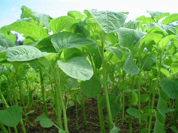 Sayur bayam hijau yang segar