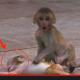 Anak Monyet Ini Mati Akibat Pergaduhan. Tak Sampai Hati Bila Lihat Kesedihan Ibunya, Cukup Menyayat Hati.