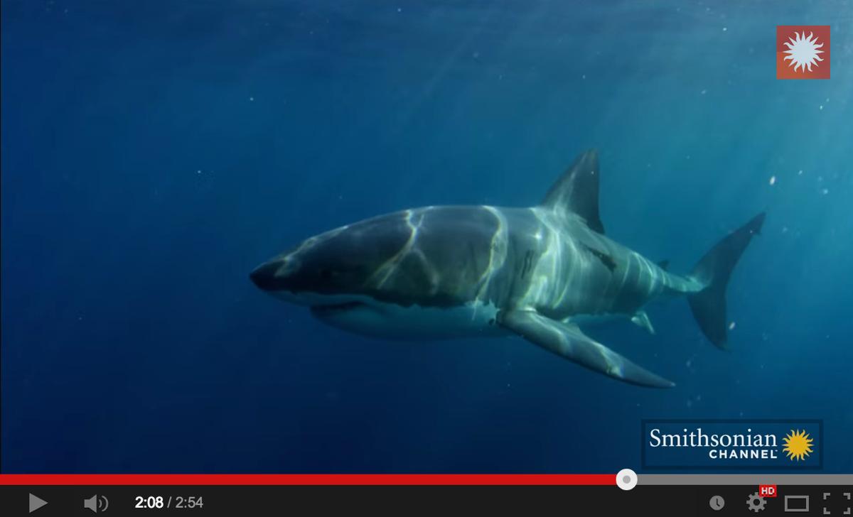Adakah Ikan Jerung 'Great White Shark' Ini Di Baham Binatang Misteri? Kekal Rahsia Allah