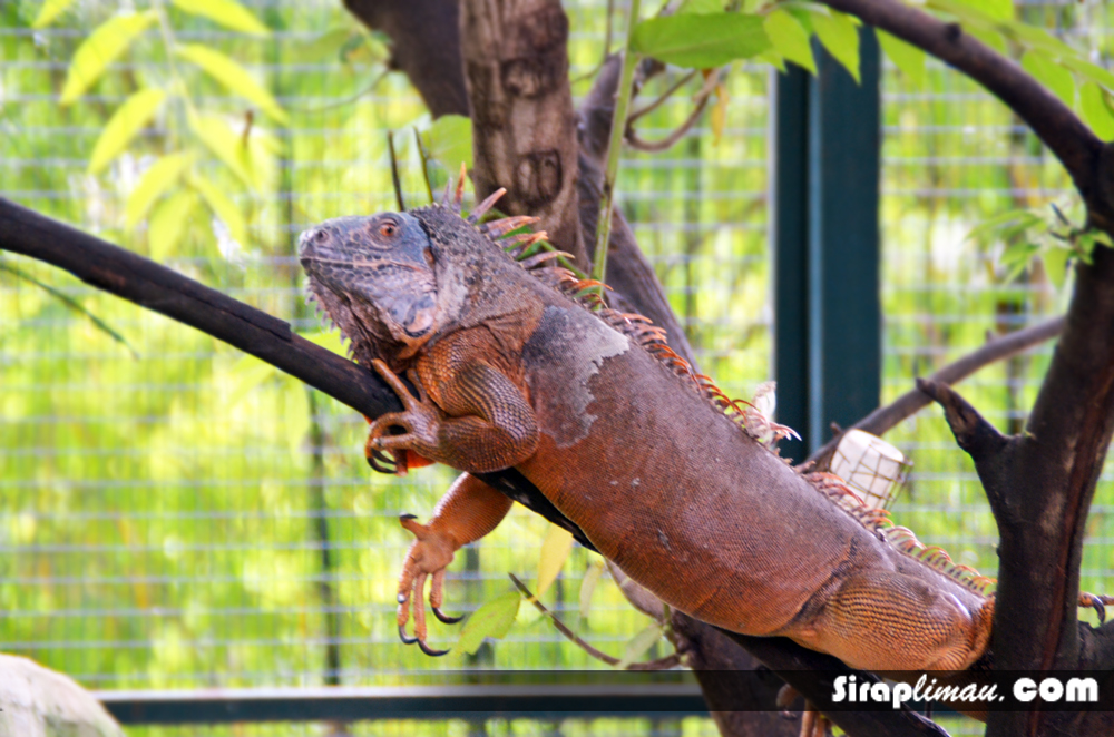 Biawak di Farm In The City