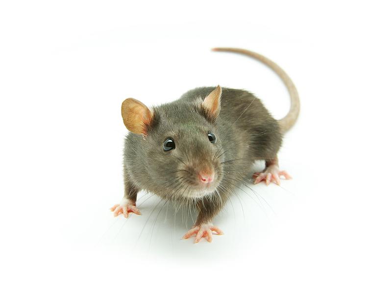 Petua halau tikus