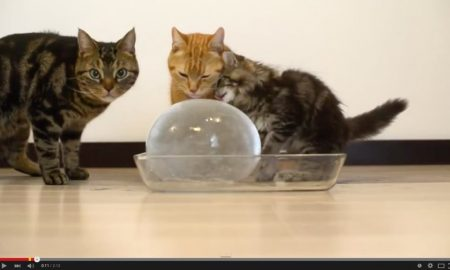 Kucing minum ais