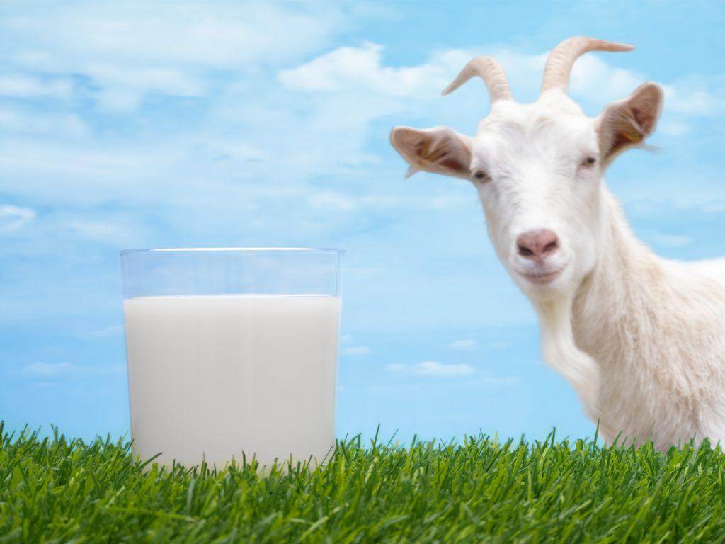 susu lembu atau susu kambing 2