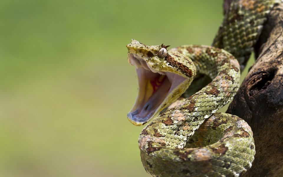 elak dipatuk ular