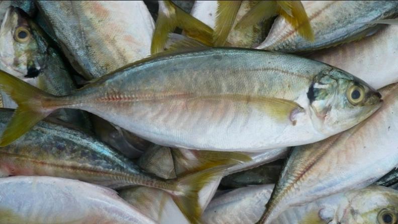 Tak Sangka Rupanya 5 Jenis Ikan Ini Dikatakan Penyebab